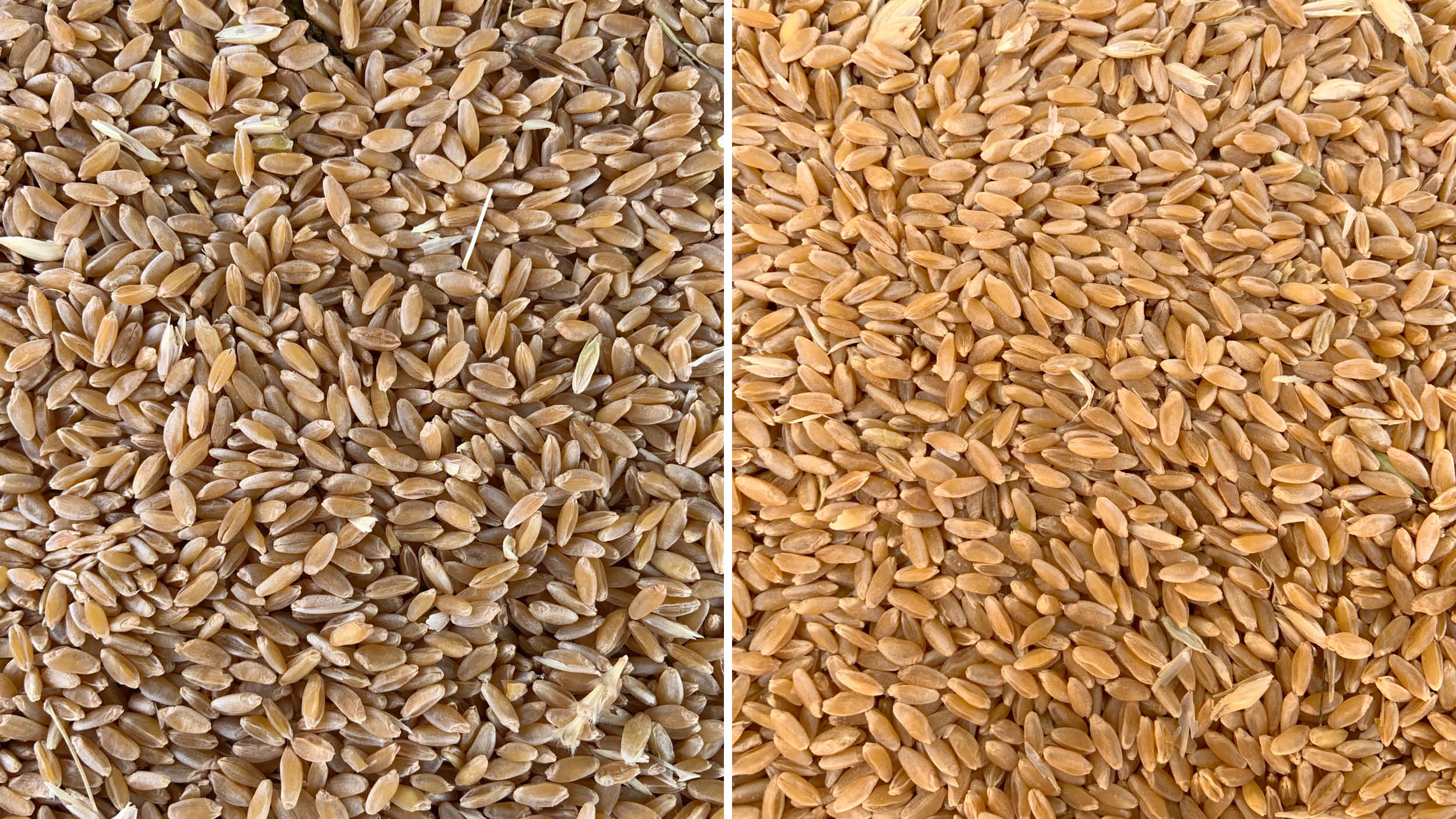 Durum wheat before & after being dried